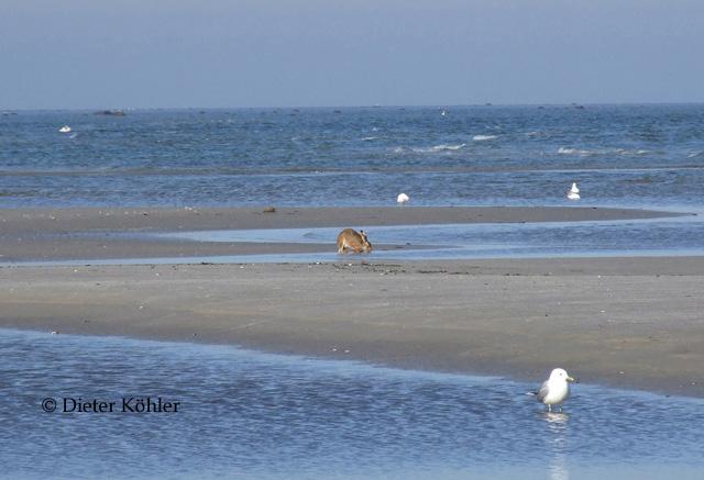 Abb. 1 Feldhase beim Trinken auf der Sandbank