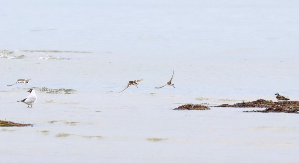 Weißbürzel-Strandläufer