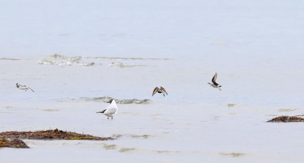 Weißbürzel-Strandläufer_002_web